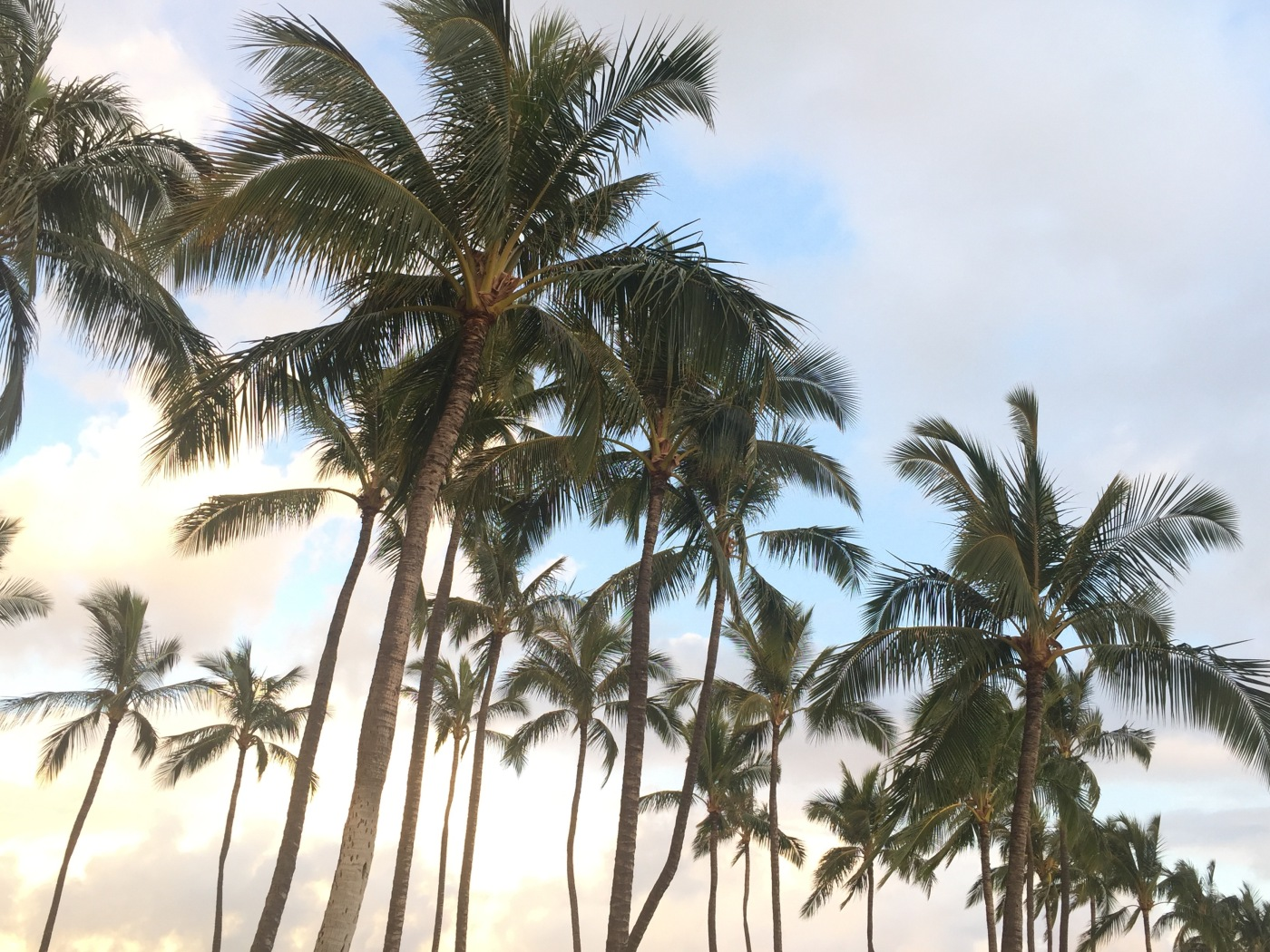 Palm Trees--Oahu, Hawaii